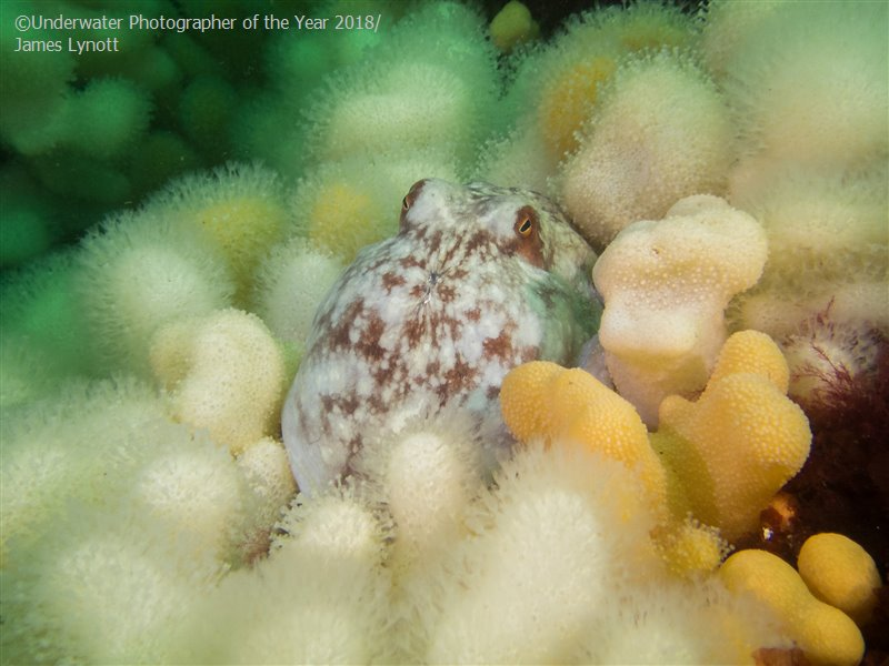Curled Octopus, © James Lynott (UK), British Waters Compact Third, Underwater Photographer of the Year