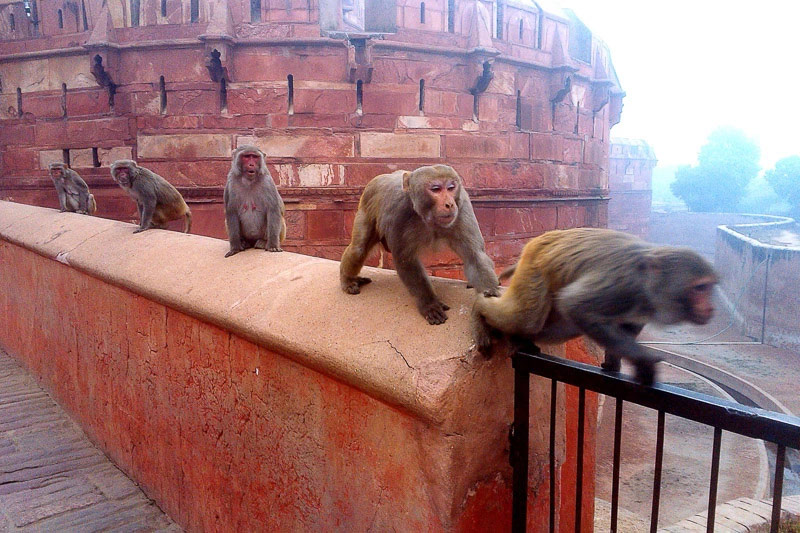Monkeys of Agra, © Mohammad Rokhsefat, ViewPoint Gallery International Photography Competition