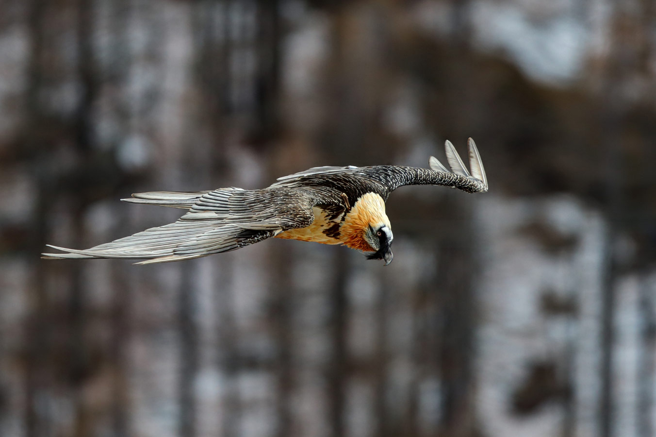 Gypaetus barbatus in flight. Gran Paradiso National Park, Italy, © Luca Casale, 11 place, Wiki Loves Earth Photo Contest