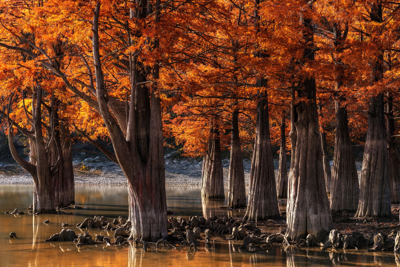 Swamp cypress (Taxodium distichum) near Sukko, Krasnodar Krai, Russia, © Aleksandr Horoshilov, 6 place, Wiki Loves Earth Photo Contest