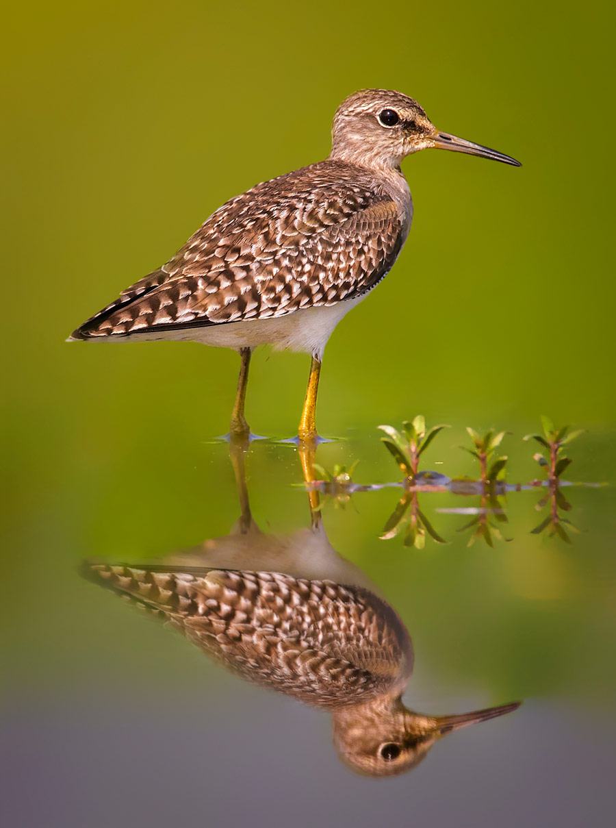 The wood sandpiper (Tringa glareola) is a small wader at Bangabandhu Sheikh Mujib Safari Park, © Abdul Momin, 8 place, Wiki Loves Earth Photo Contest