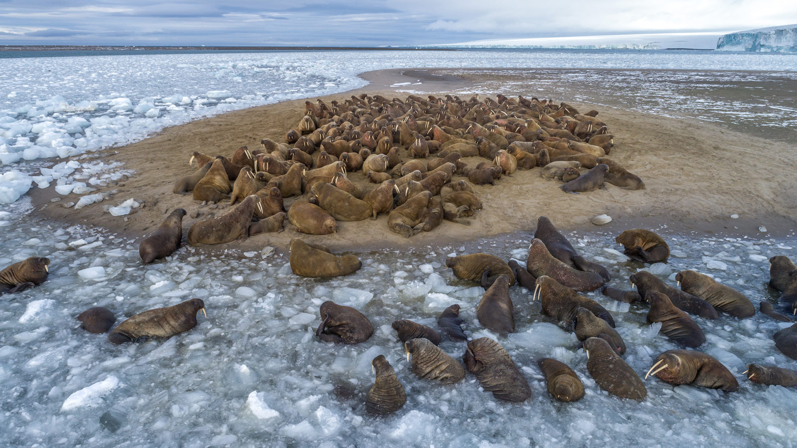 Walruses lying on Northbrook Island. Russian Arctic National Park, © Ilya Timin, 9 place, Wiki Loves Earth Photo Contest