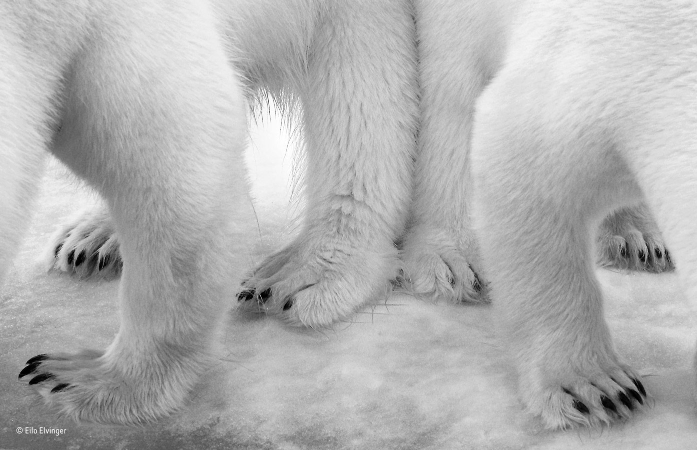 Polar pas de deux, © Eilo Elvinger, Luxembourg, Black and White Winner, Wildlife Photographer of the Year