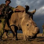 Rhino Horn: The ongoing atrocity, © Brent Stirton, South Africa, The Wildlife Photojournalist Award: Story Winner, Wildlife Photographer of the Year