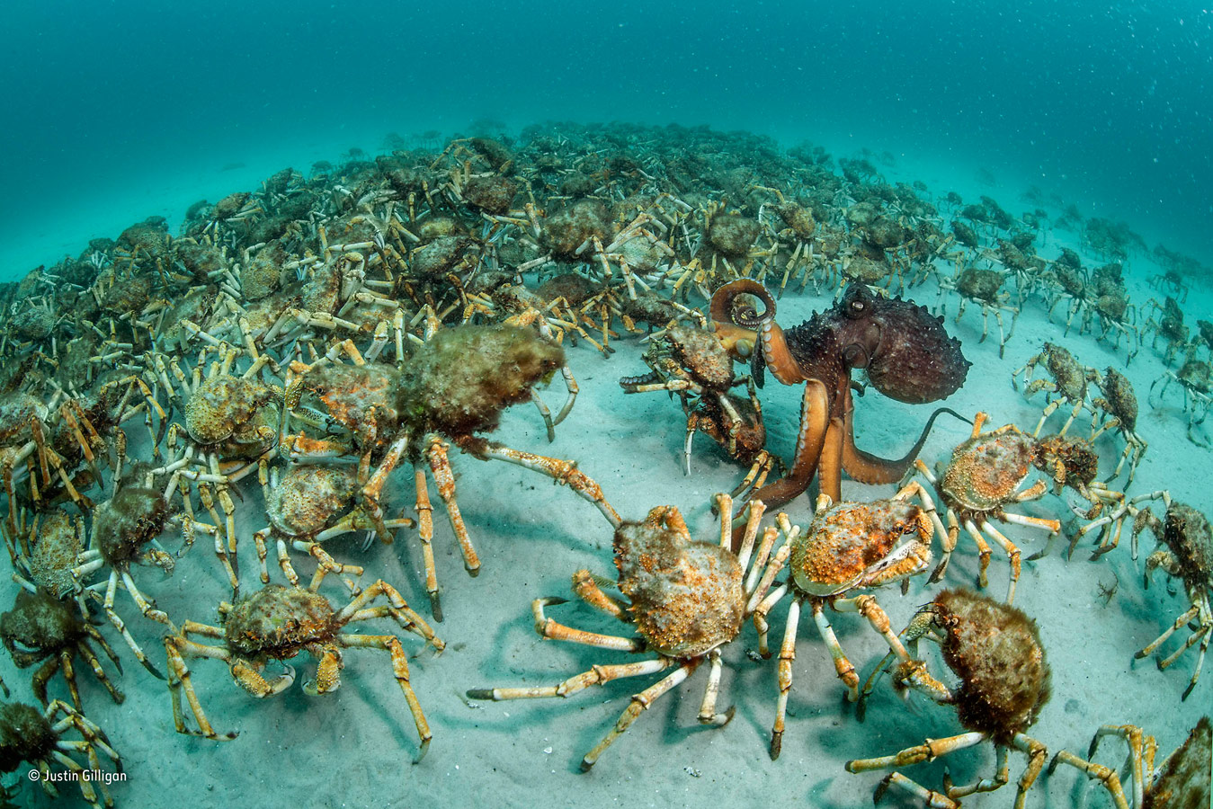 Crab surprise, © Justin Gilligan, Australia, Behaviour: Invertebrates Winner, Wildlife Photographer of the Year