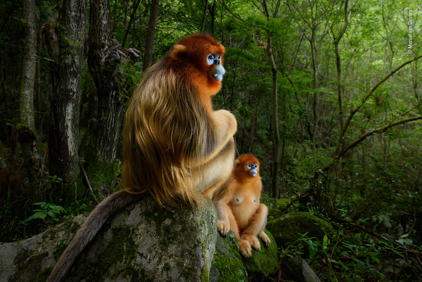 Grand title winner, The Golden Couple, © Marsel van Oosten, The Netherlands, Wildlife Photographer of the Year