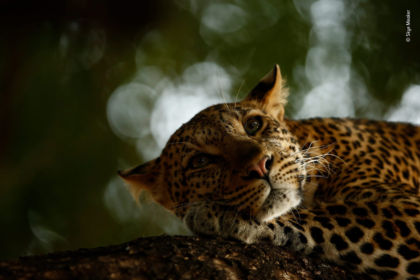 Grand title Young winner, Lounging Leopard, © Skye Meaker, South Africa, Wildlife Photographer of the Year