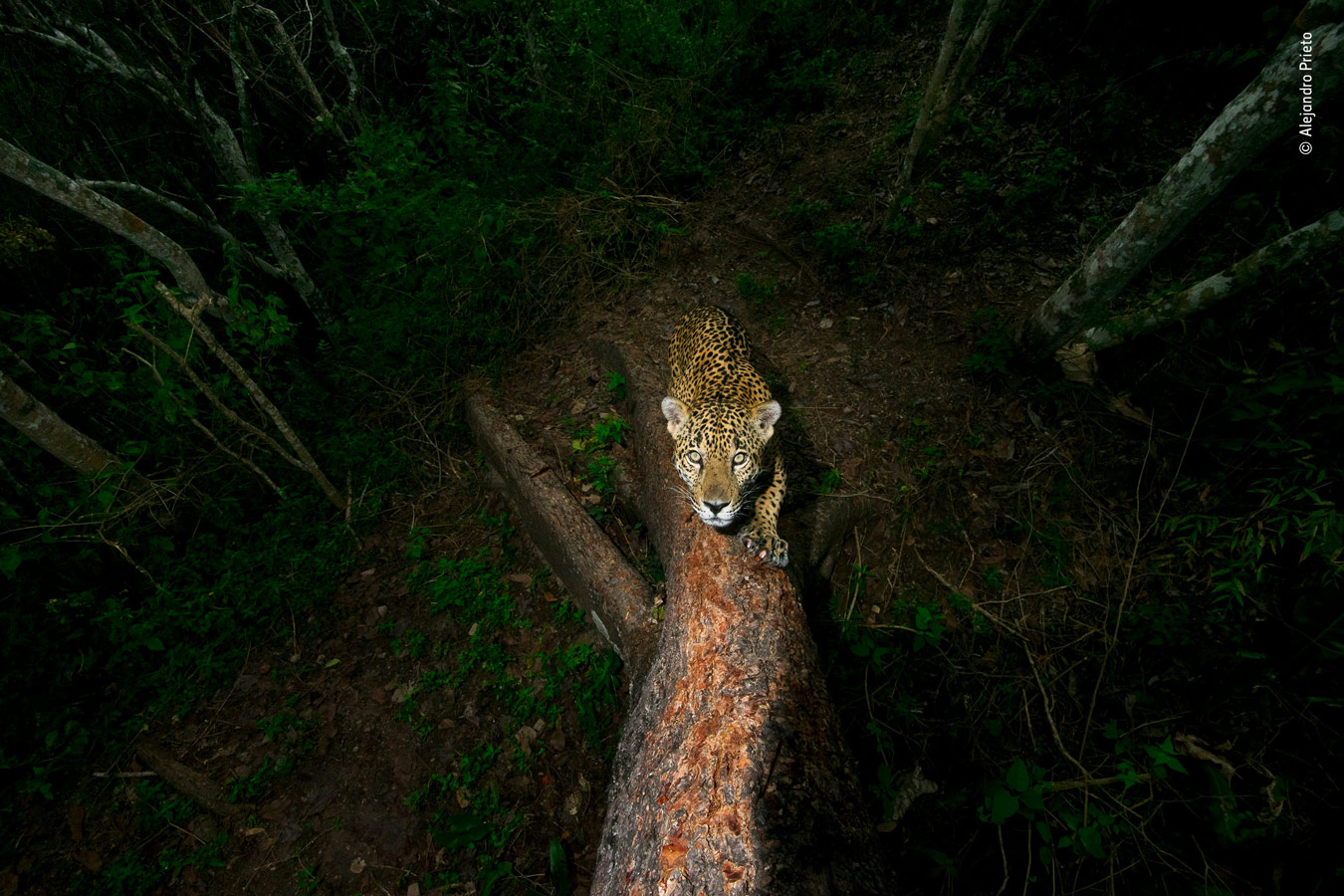 Wildlife Photojournalist Award: Photo Story Category Winner, Gunning for the Jaguar, © Alejandro Prieto, Mexico, Wildlife Photographer of the Year