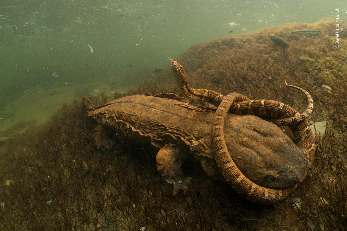 Behaviours Amphibians and Reptiles Category Winner, Hellbent, © David Herasimtschuk, USA, Wildlife Photographer of the Year