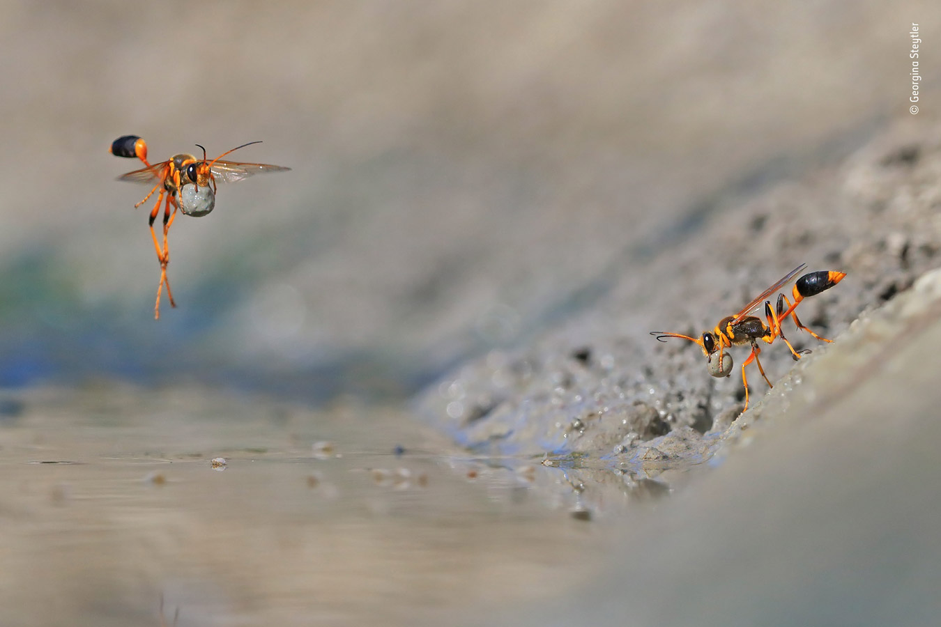 Behaviours Invertebrates Category Winner, Mud-Rolling Mud-Dauber, © Georgina Steytler, Australia, Wildlife Photographer of the Year