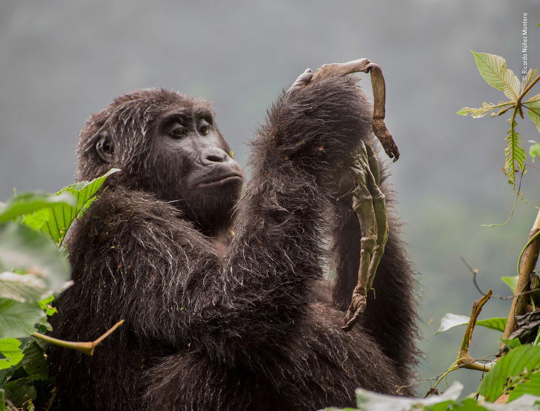 Behaviours Mammals Category Winner, Kuhirwa Mourns Her Baby, © Ricardo Núñez Montero, Spain, Wildlife Photographer of the Year