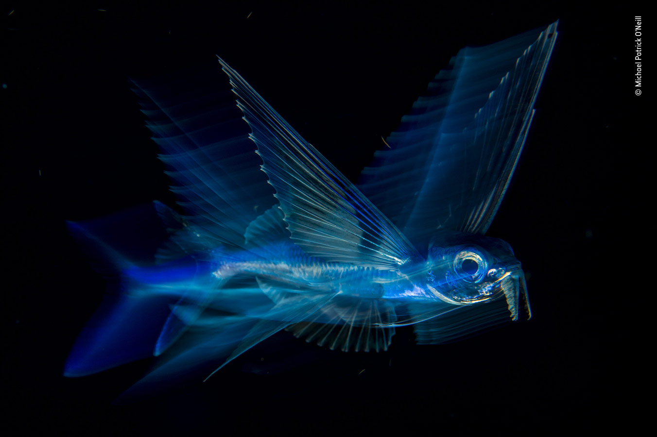 Under Water Category Winner, Night Flight, © Michael Patrick O'Neill, USA, Wildlife Photographer of the Year