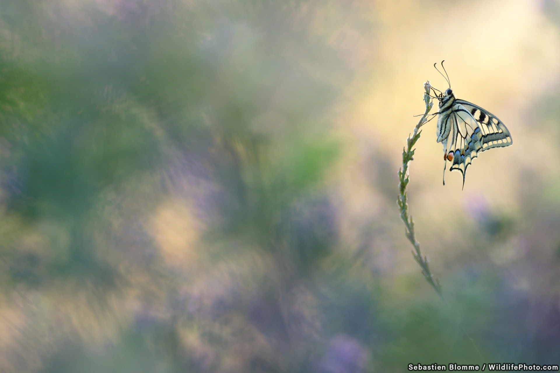 King of Butterflies, © Sebastien Blomme, Highly Commended, Wildlife Portraits Photo Contest