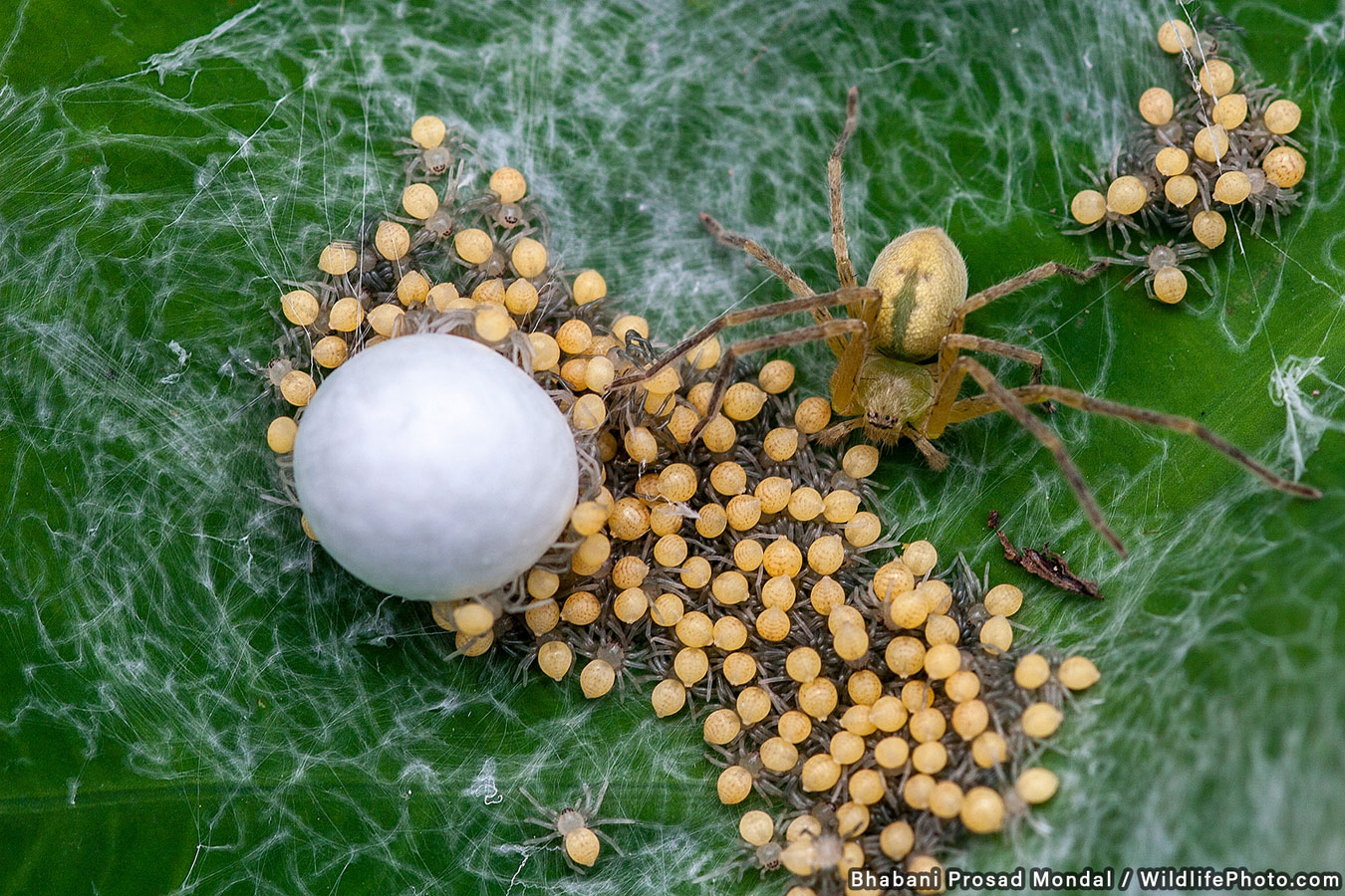Spider with Newly Hatched Babies, © Bhabani Prosad Mondal, Highly Commended, Wildlife Portraits Photo Contest