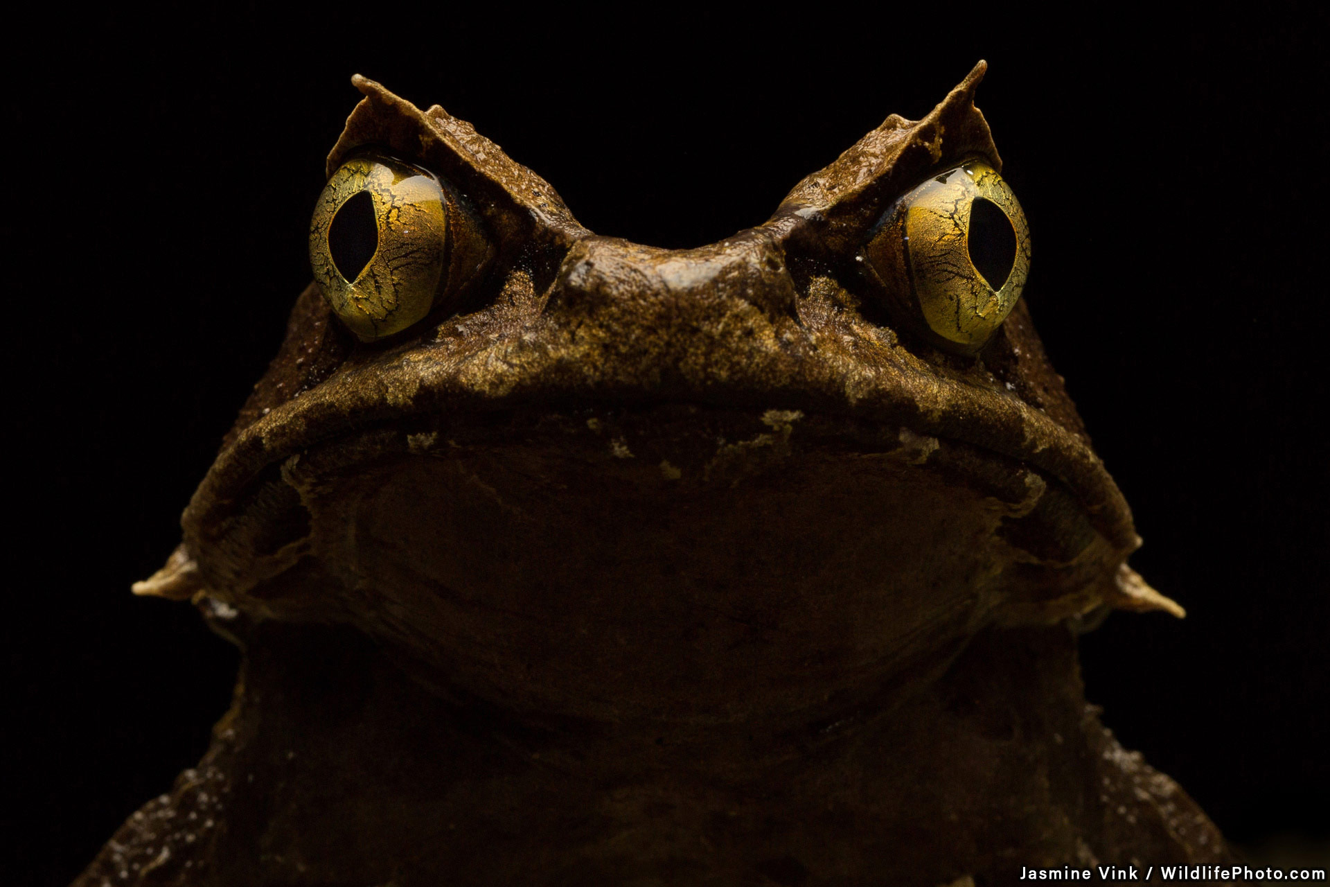 Kobayashi's Horned Frog, © Jasmine Vink, Highly Commended, Wildlife Portraits Photo Contest