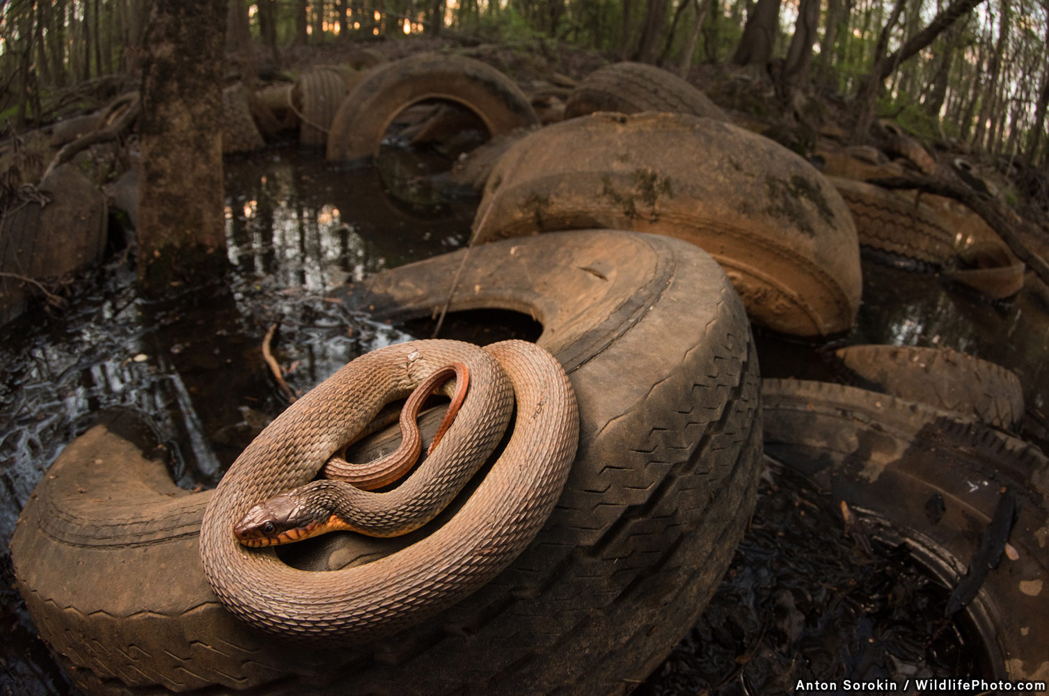 Tire Swamp and Snake, © Anton Sorokin, Runner-Up, Wildlife Portraits Photo Contest