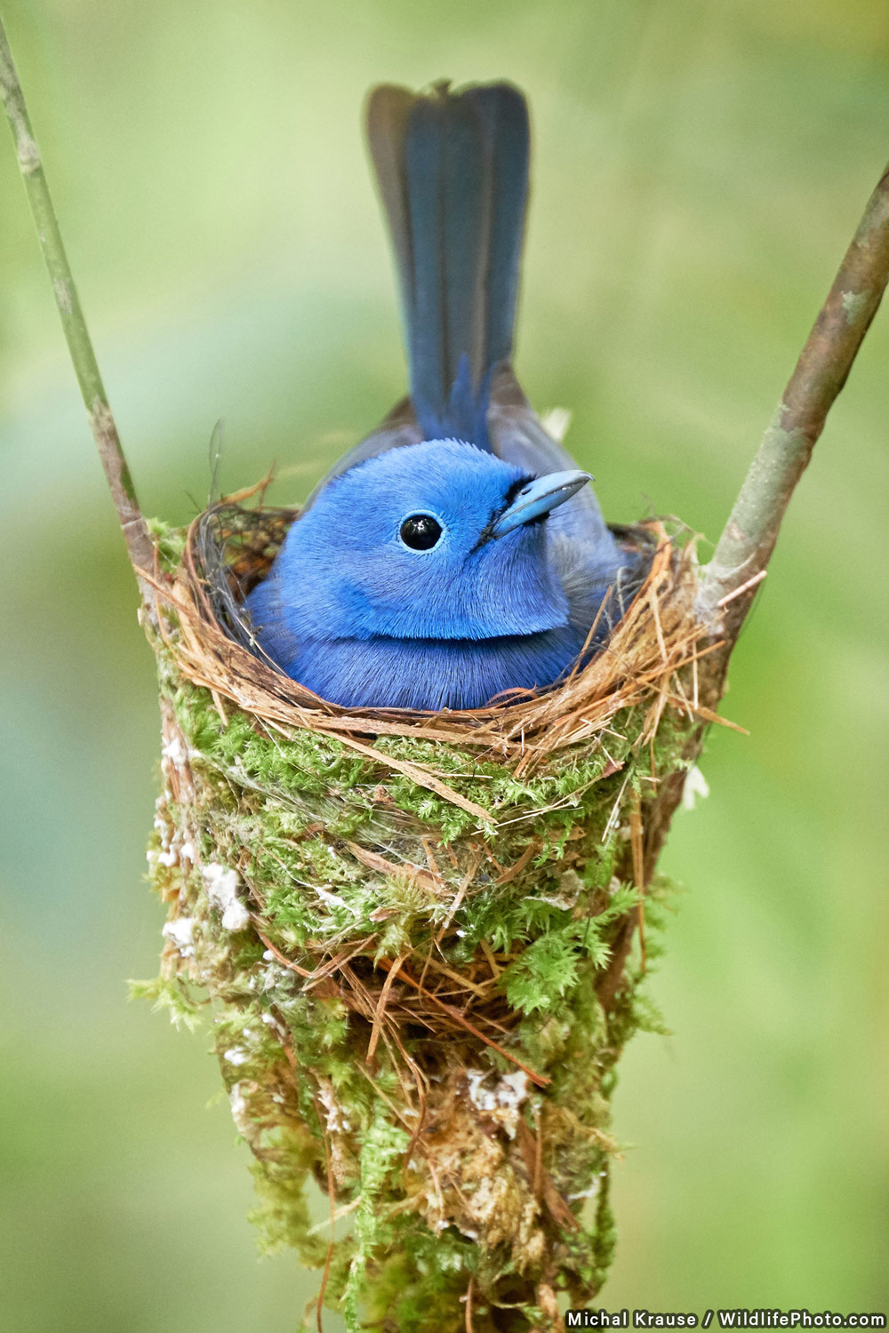 Black-naped Monarch on the Nest, © Michal Krause, Highly Commended, Wildlife Portraits Photo Contest