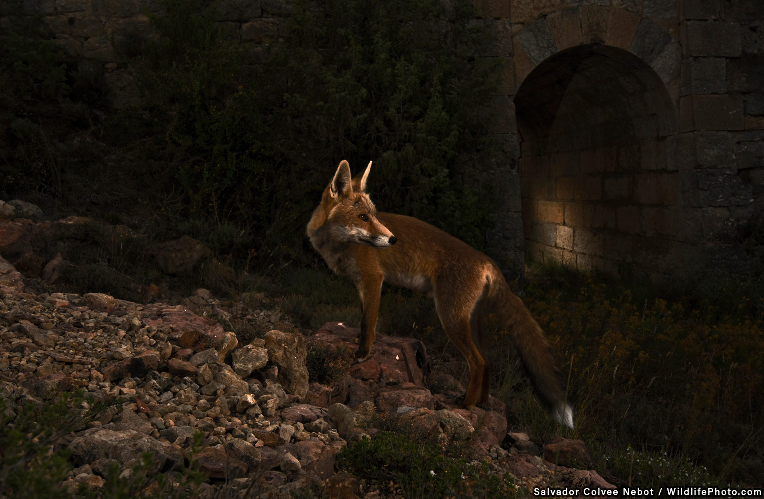 The Fox and the Bridge, © Salvador Colvée Nebot, Highly Commended, Wildlife Portraits Photo Contest