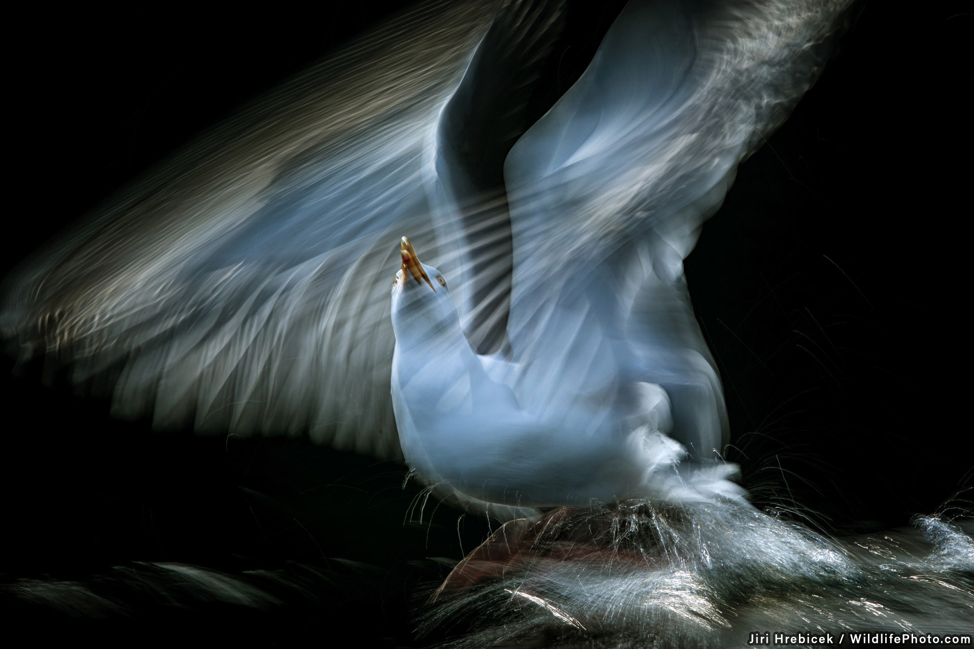 The Seagull, © Jiri Hrebicek, Highly Commended, Wildlife Portraits Photo Contest