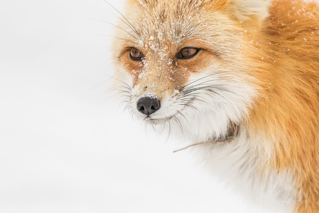 Foxy, © Heidi Padveen, Calabasas, CA, United States, World In Focus - The Ultimate Travel Photography Competition