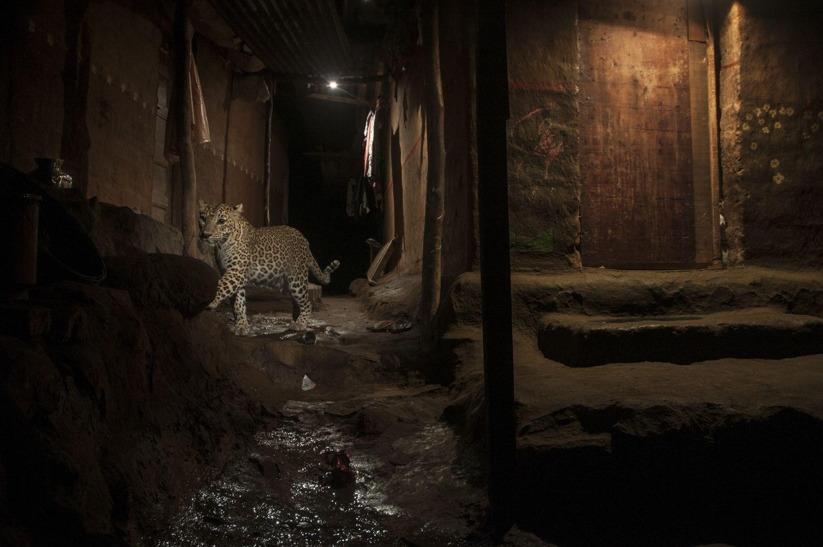Big Cat in My Backyard, Nayan Khanolkar, India, The World Press Photo Contest