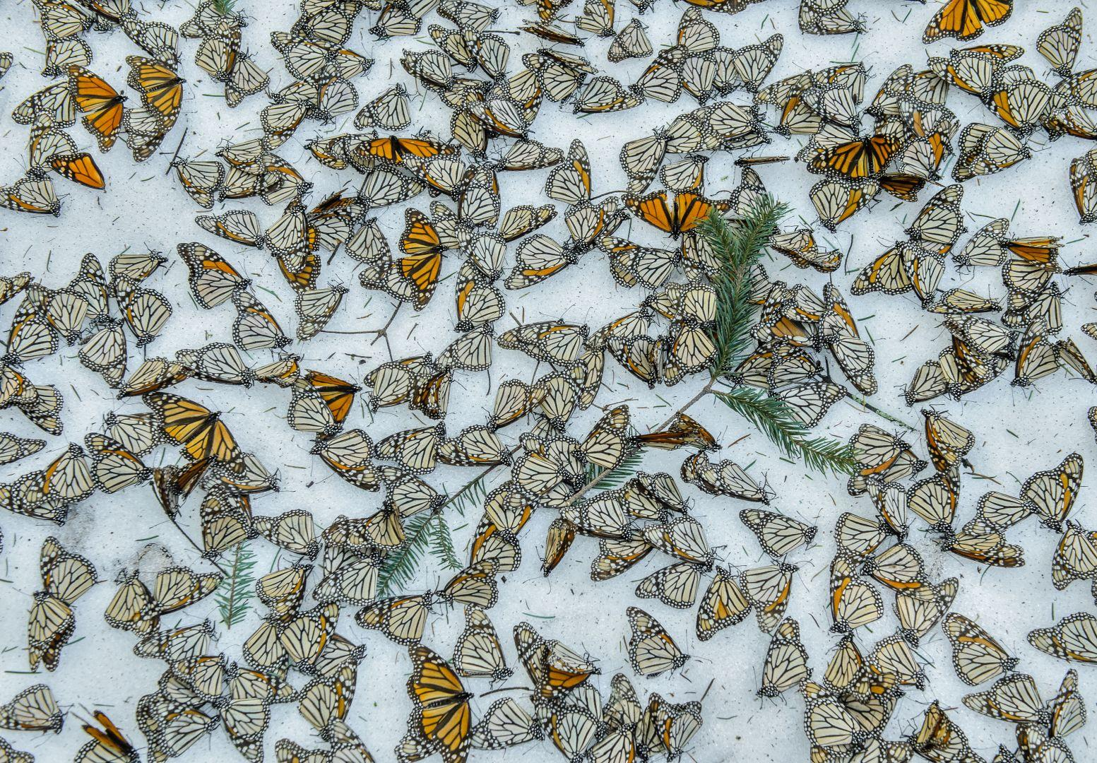 Monarchs in the Snow, Jaime Rojo, Spain, The World Press Photo Contest