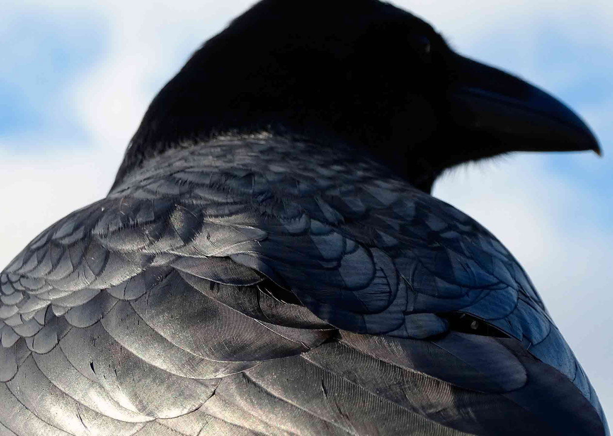Majestic raven, © Thomas Easterbrook, Under 12 Years Category Winner, RSPCA Young Photographer Awards