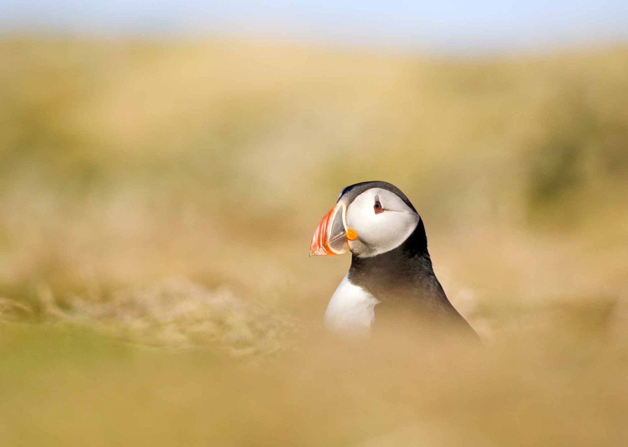 Peeking Puffin, © Joshua Kneale, Under 12 Category Runner-up, RSPCA Young Photographer Awards