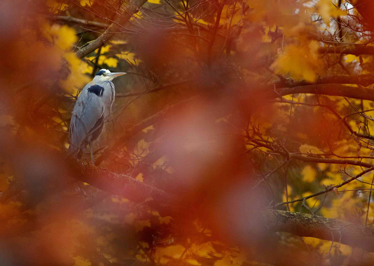 Grey Heron (3 of 5), © Gideon Knight, Portfolio Category Runner-up, RSPCA Young Photographer Awards
