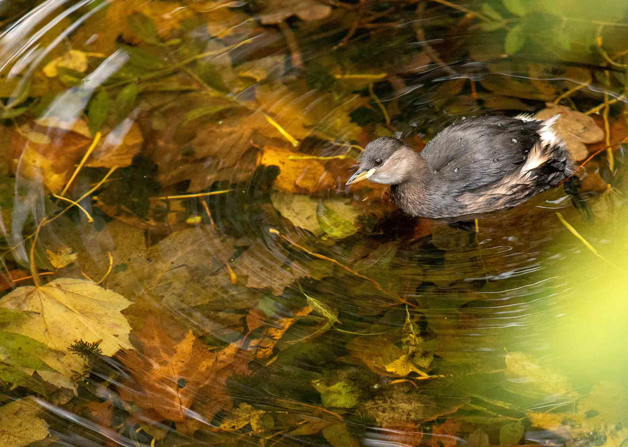 Little Grebe (4 of 5), © Gideon Knight, Portfolio Category Runner-up, RSPCA Young Photographer Awards