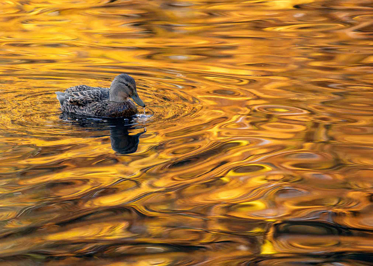 A Lake of Gold (5 of 5), © Gideon Knight, Portfolio Category Runner-up, RSPCA Young Photographer Awards