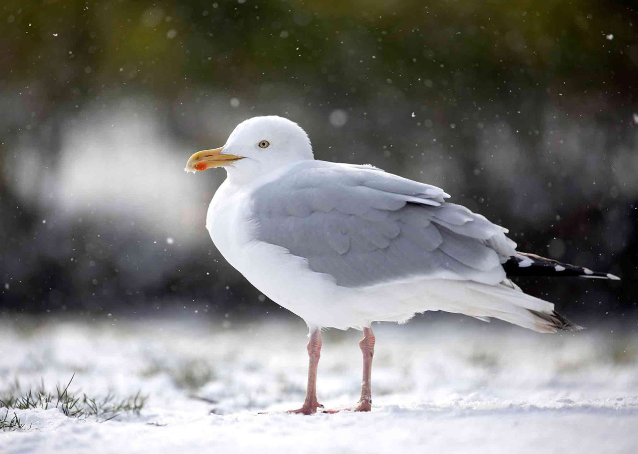 Gull in the Snow (2 of 5), © Gideon Knight, Portfolio Category Commended, RSPCA Young Photographer Awards