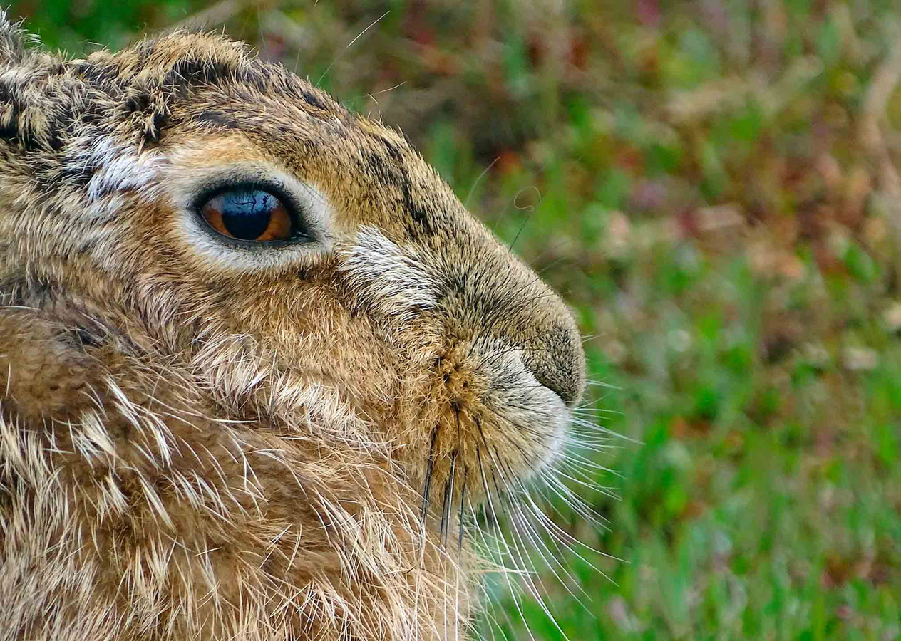 Havergate Hare, © Thomas Easterbrook, Under 12 Category Commended, RSPCA Young Photographer Awards