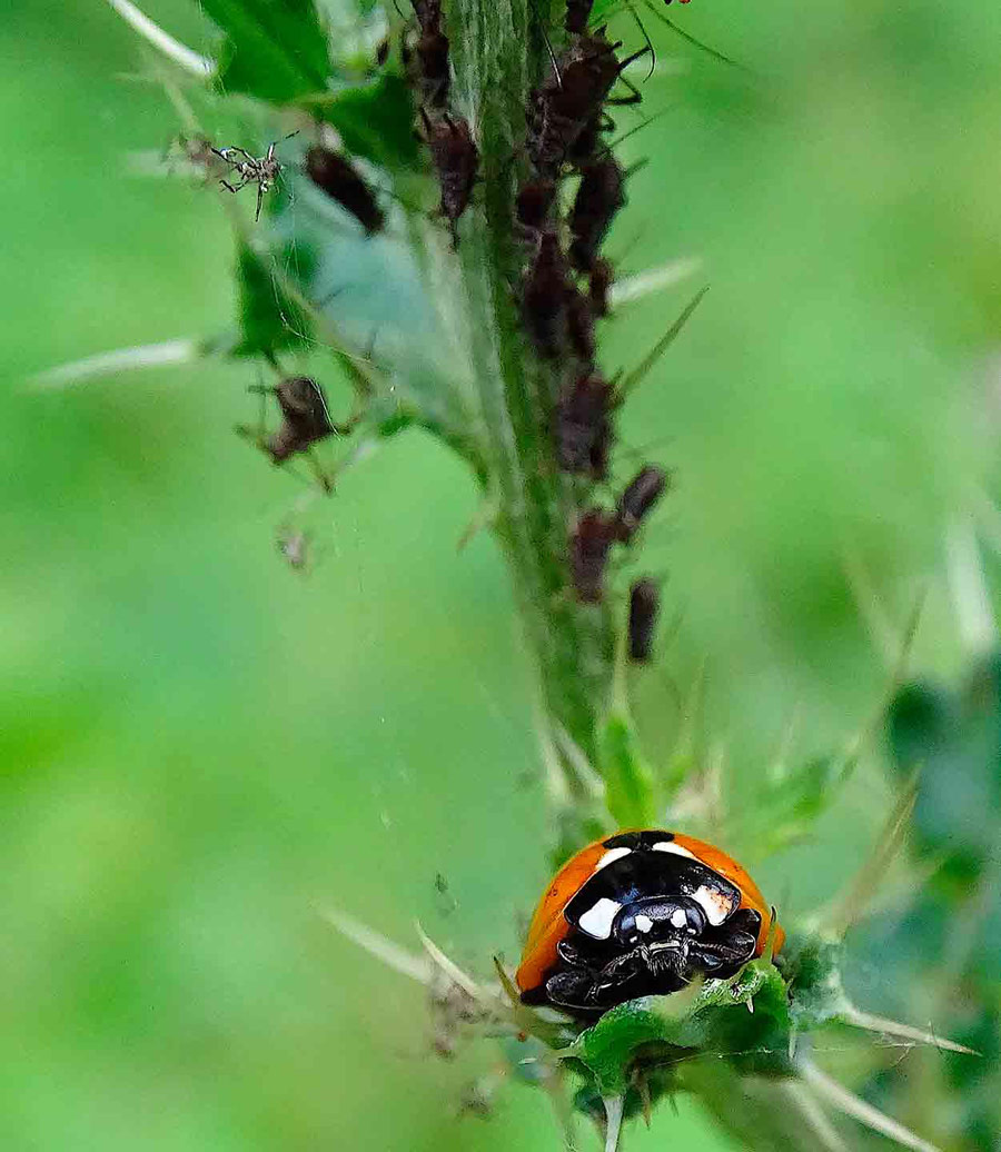 Ladybird Preparing for Lunch, © Thomas Easterbrook, Under 12 Category Commended, RSPCA Young Photographer Awards