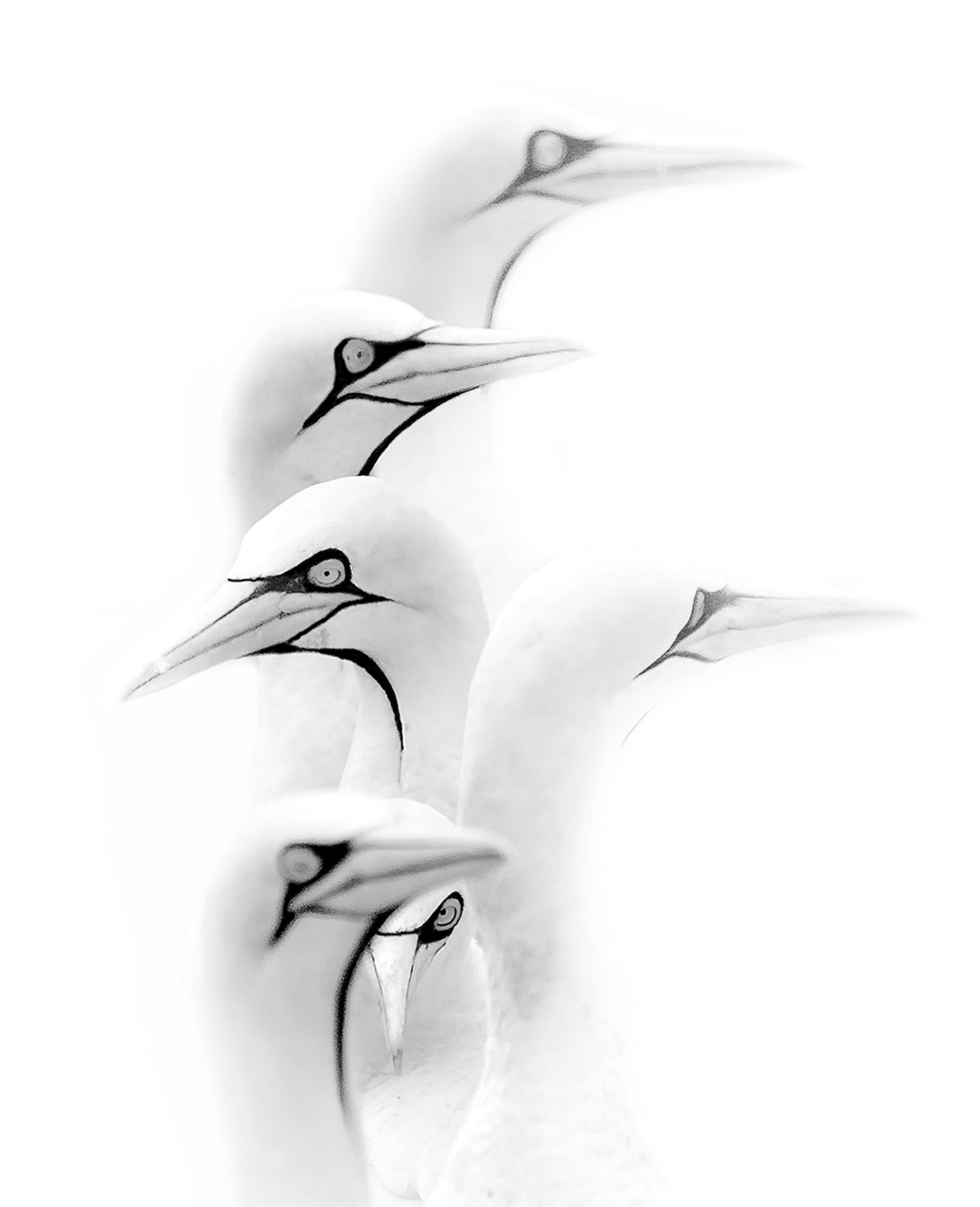 Gannets in the mist, © Prelena SOMA OWEN, 1st Place, Non-Professional - Abstract and Contemporary, Zebra Awards - TZIPAC Black and White Photographer of the Year