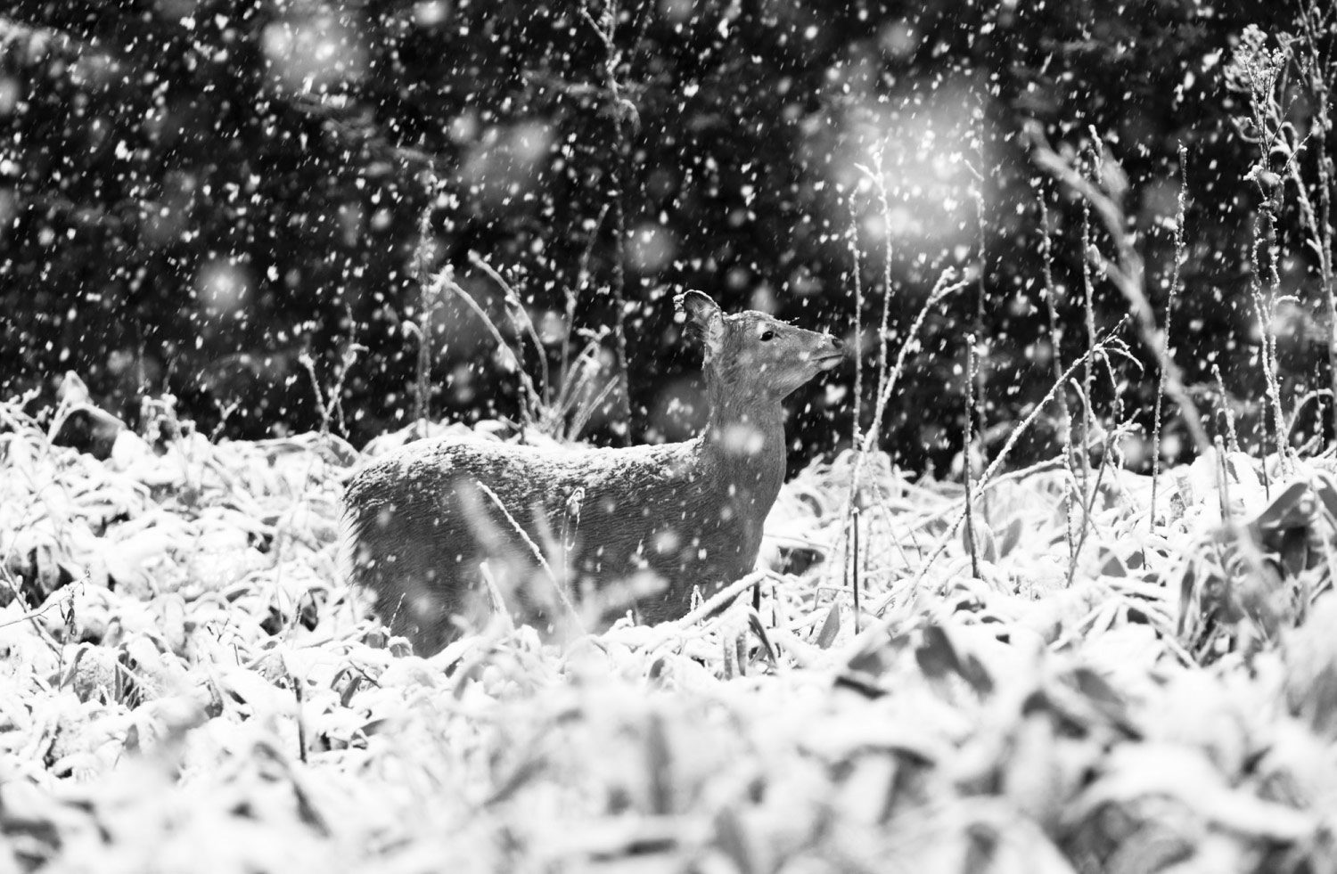 DEAR DEER In Snow, © Aya IWASAKI, 2nd Place, Professional - Abstract and Contemporary, Zebra Awards - TZIPAC Black and White Photographer of the Year